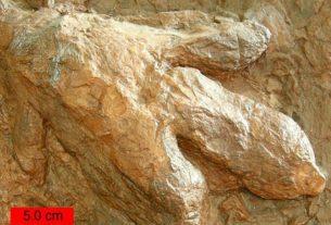 Ilustrasi. Fosil jejak kaki dinosaurus, Gigandipus. (wikipedia.org)